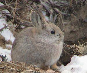 Pygmy rabbit (Brachylagus idahoensis)