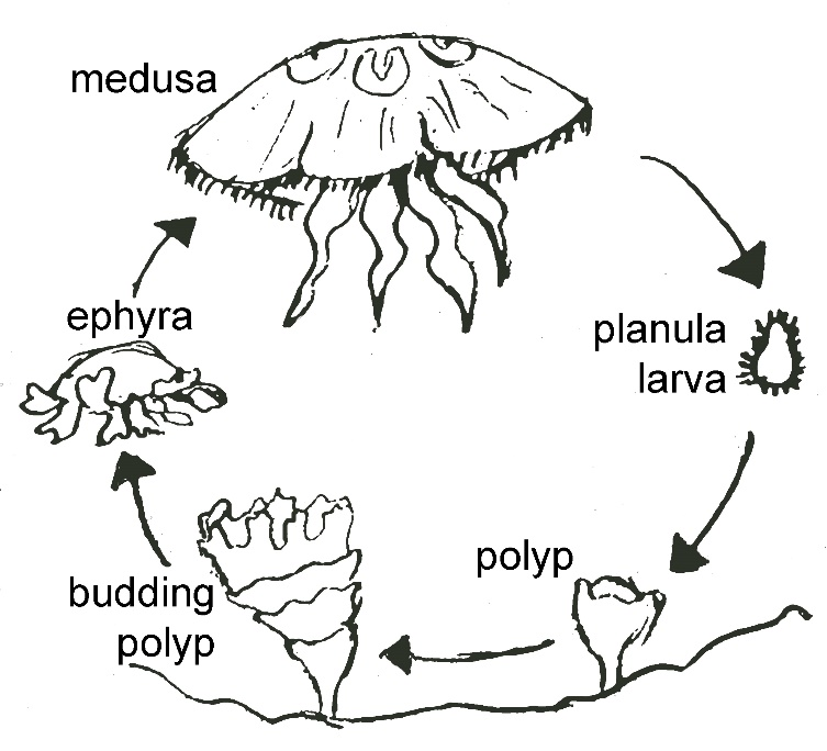 Halipluemon in spatium is Latin for 'jellyfish in space'. Aurelia aurita specimens were taken into space as ephyra or in polyp form. Polyps were induced to produce ephyra whilst in orbit. It was estimated that there were as many as 60,000 ephyra in space by the end of the experiments.